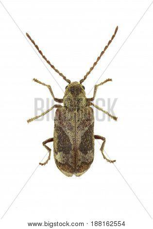 Death Watch Beetle Ptinomorphus on white Background - Ptinomorphus imperialis (Linnaeus 1767)