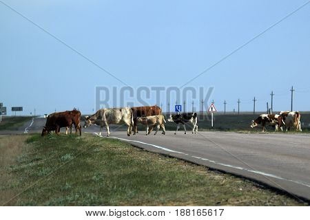 Herd of cows crossing the road in steppe