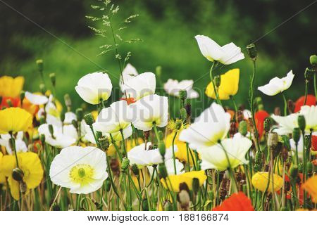 White, yellow and red flowers poppie.  Colorful flowers. Spring time. Photo stock.