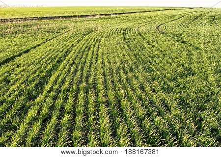 Looking straight into a cultivated field - lines of plants