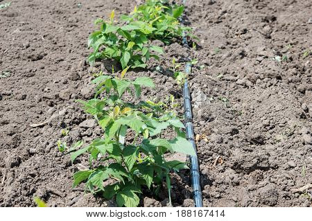 Drip Irrigation Stems of Raspberry with Water-hose. Raspberry seedlings are planted in neat rows during the summer season