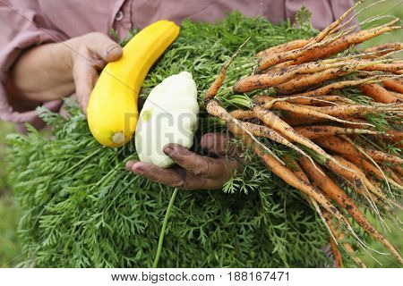 The harvest in their natural form. The woman holds in her dirty from the ground the hands the harvest of vegetables: carrots zucchini and squash. The woman is dressed in dirty clothes she is dirty from working in the garden with his hands.