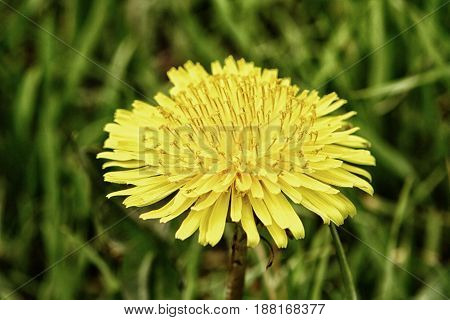 Yellow flower of dandelion with leaves in green grass spring