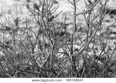 Group of dead bushes shrubs on dry ground