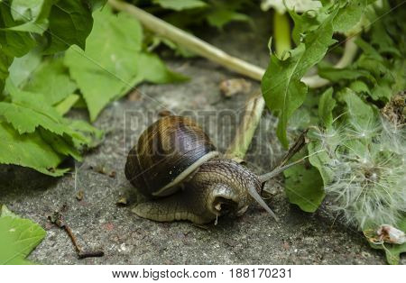 In the spring in the park a big snail crawls with a small house among the leaves