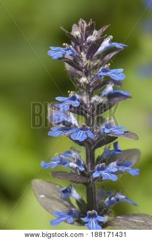 Ajuga reptans flowers close up shot local focus