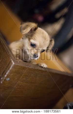 Little handsome chihuahua puppy with funny ears