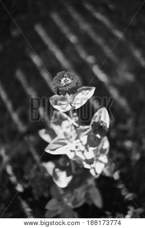 Flower in light and shades black and white