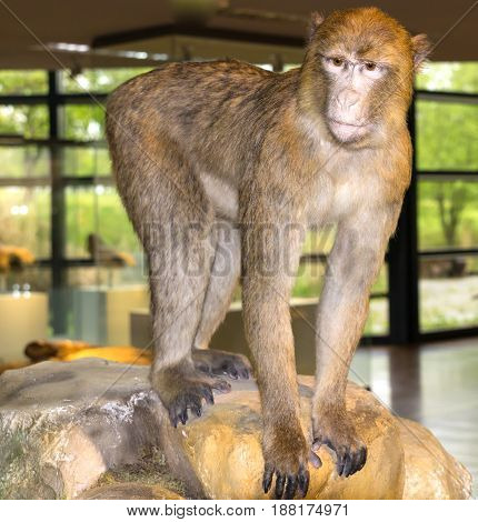 Gray big monkey sitting on the stone