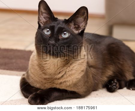 Darker elegant siamese cat with blue eyes.