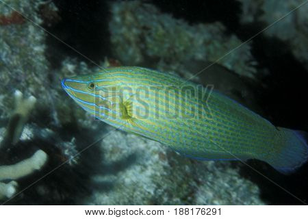 a Halichoeres Wrasse from the Kwajalein Atoll in the Pacific