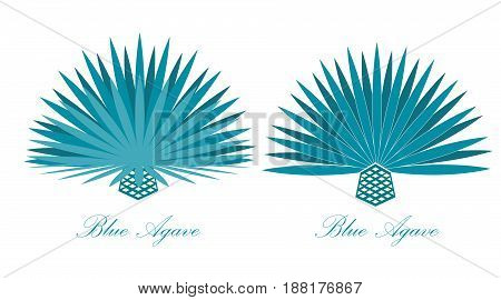 Blue agave or or tequila agave plant.