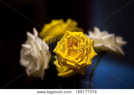 One yellow rose in focus with blurred white and yellow roses in the background