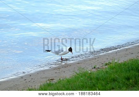 Outdoor landscape with seagull standing on river coast line with sand and grass and eating small fish on summer day