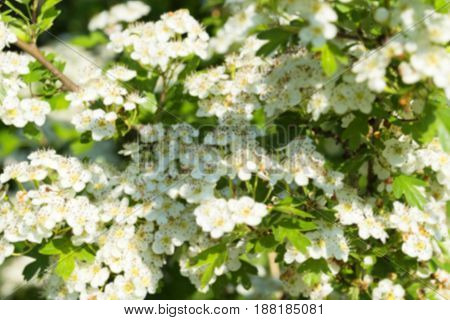 Blurred background texture, white blossom of apple tree in defocus