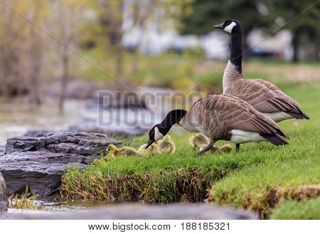 Canada geese protecting their goslings in a park in Quebec, Canada. These geese protect their young aggressively and make very good parents.