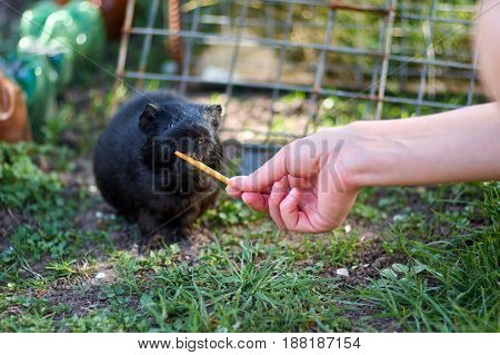 Image of a black guiney pig eating straw out of an unrecognizable persons hand.Feeding guiney pig