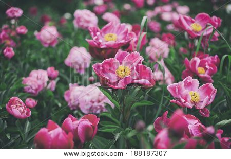 Flowers background. Beautiful pink and red peonies in field. Toning