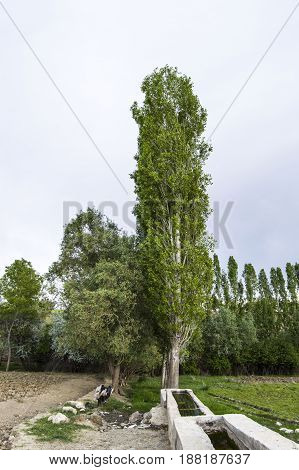 Pictures of long poplar tree and spring view