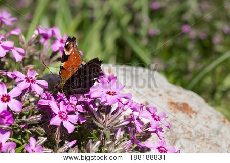 Butterfly on pink flowers close-up. Back background blurred