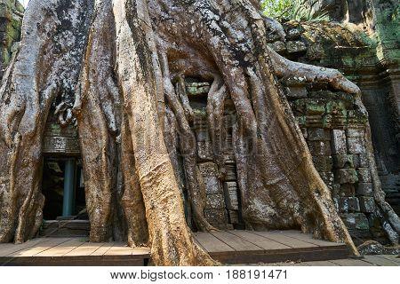 Angkor Wat Temple and Huge Ancient Trees