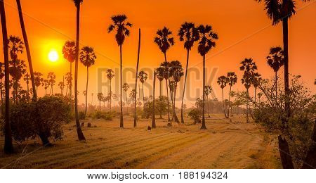 Landscape sugar palm trees and rice field in sunset.