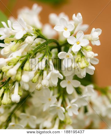 White flowers of lilac on nature. macro