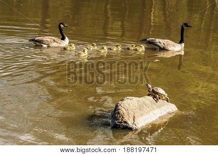 Red Eared Slider And Geese Family With Goslings On A Pond In Vancouver, Canada