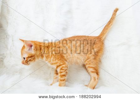 Yellow striped cat stand on white background