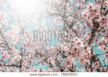 Almond trees in bloom in the Retiro park in Madrid, Spain, in the sunlight. Selective focus