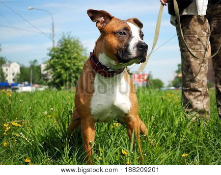 Cute dog on a walk. Friendly puppy. Green grass blue sky