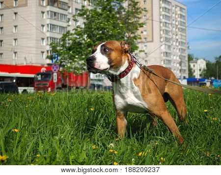 The dog on the walk. Background city street. Green grass blue sky