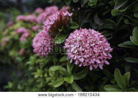 selective focus of flower pink rubiaceae among green leaves
