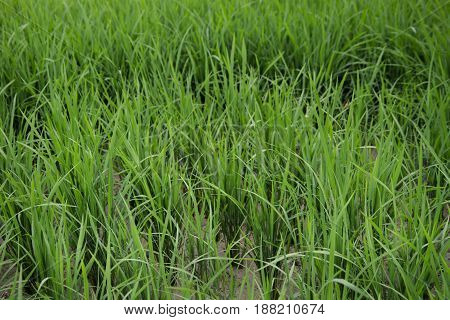 Close up of fresh grass on the rice field