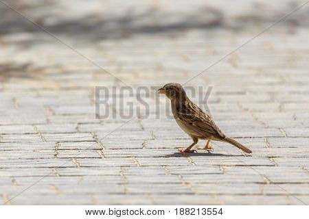 Small Sparrow With Eat On The Sidewalk Tile
