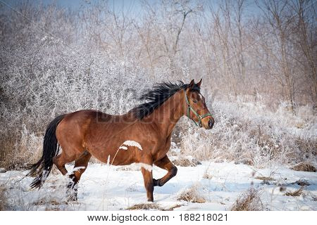 Adorable bay horse  take a exercise on the snowy meadow