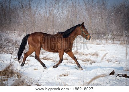 Bay horse on the meadow in the cold winter day