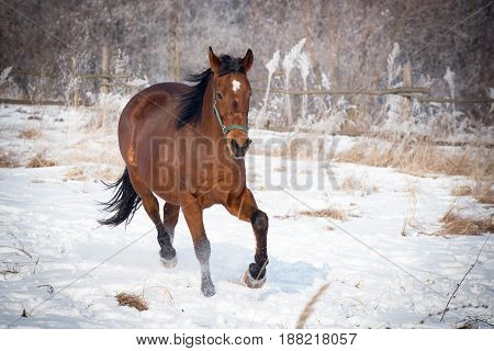 Playful brown horse on the snow during a walk