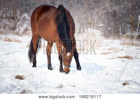 Bay horse takes a walk on the cold winter day