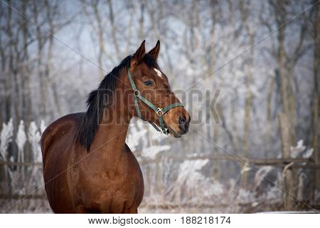 Winter day on the snowy meadow with a proud, brown horse