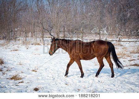 Big brown horse walking through a snow