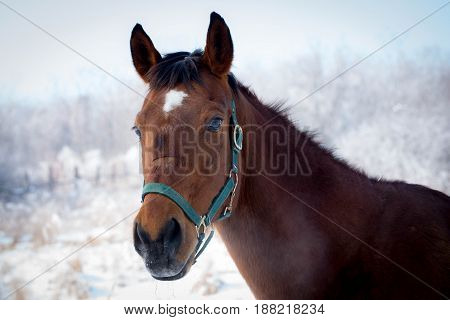 Bay horse on the snowy meadow during a exercise