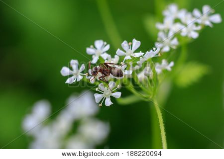 Macro photo of an ant on a white flower. Ant closeup crawling on the flower on the green background. Forest ant.