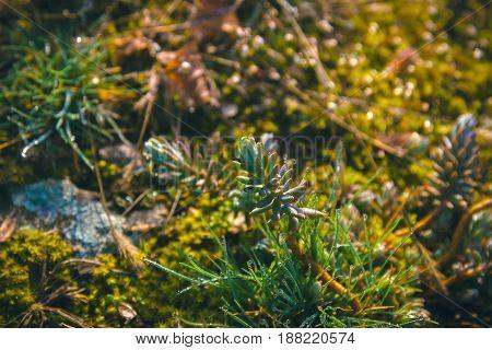 Closeup to Pork Beans Sedum Rubrotinctum Crassulaceae, Succulent and Arid Plant
