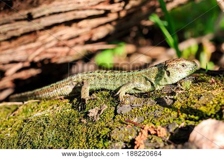 Green forest lizard sitting on a tree. Wild lizard green. Zootoca vivipara. Lacerta.