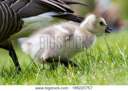 An young goose is walking in the grass