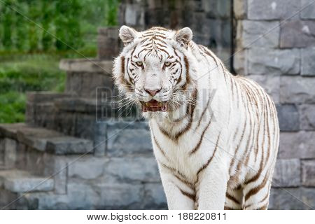 On a big tree trunk stands this beautiful white siberian tiger