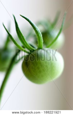green tomatoes, growing tomatoes, the ripening of the tomatoes