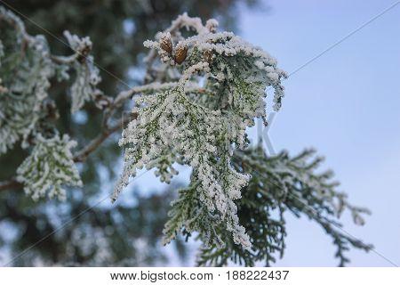 frozen twig of juniper tree at blue sky