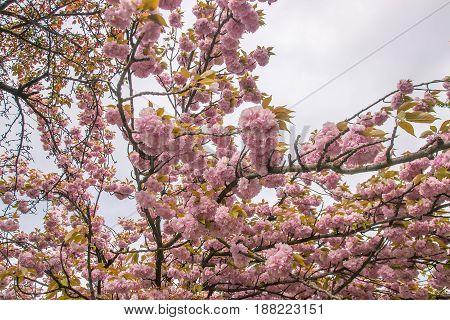 flowering sakura blossoms at dark gray sky